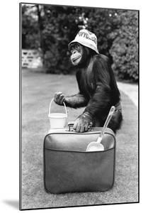 A Chimpanzee at Twycross Zoo ready for travelling by Staff