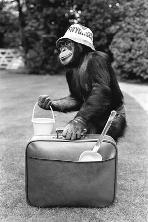 A Chimpanzee at Twycross Zoo ready for travelling
