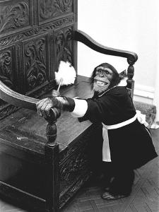A Chimpanzee brushing up on the housework by Staff