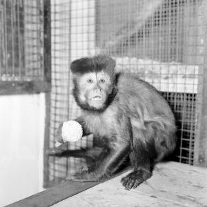 Capucine Monkey 1975 by Staff