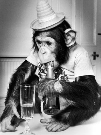 Chimpanzee at Twycross Zoo 1988
