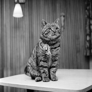 Jasper the cat 1972 by Staff