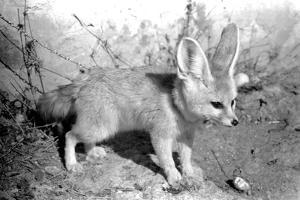 Rommella the desert fox February 1972 by Staff