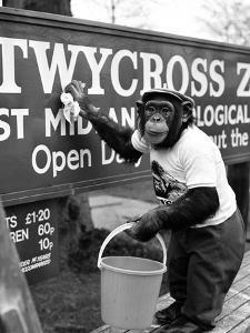 Twycross Zoo Chimpanzee cleaning by Staff