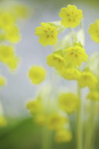 Buttercup Chorus by Staffan Widstrand