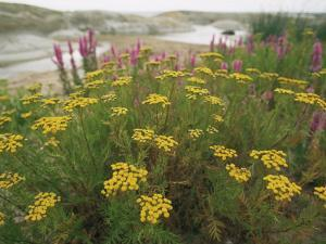 Common Tansy in Flower, Sweden by Staffan Widstrand