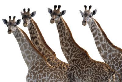Giraffes in a Row - Pure by Staffan Widstrand