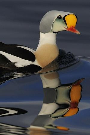 King Eider Duck (Somateria Spectabilis) Male, Batsfjord Village Harbour, Varanger Peninsula, Norway
