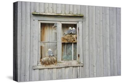 Kittiwake Gulls (Rissa Tridactyla) on an Abandoned House, Batsfjord Village Harbour, Norway