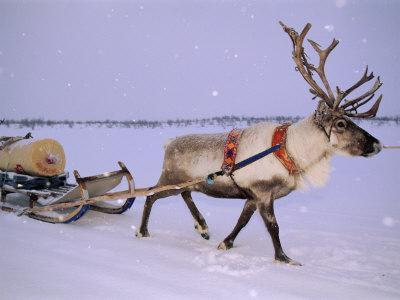 Reindeer, Pulling Sledge, Saami Easter, Norway