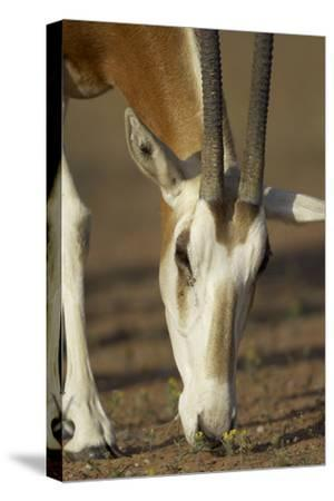Scimitar-Horned Oryx (Oryx Dammah), Dubai Desert Conservation Reserve, Dubai, Uae