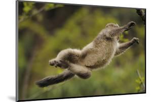 Yunnan Snub-Nosed Monkey (Rhinopithecus Bieti) Jumping from Tree to Tree by Staffan Widstrand
