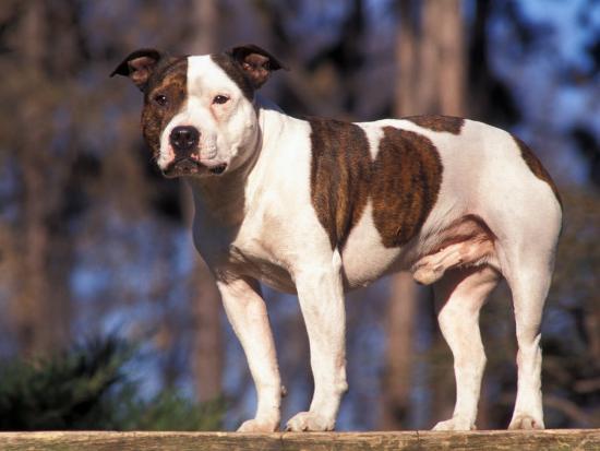 Staffordshire Bull Terrier Portrait-Adriano Bacchella-Photographic Print