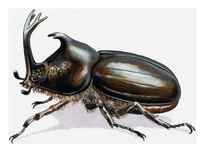 https://imgc.artprintimages.com/img/print/stag-beetle-1966_u-l-pci7hr0.jpg?p=0