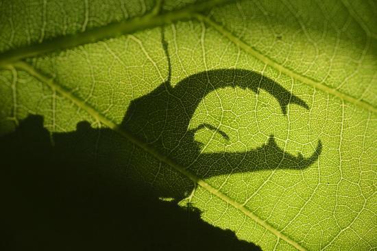 Stag Beetle (Lucanus Cervus) Silhouetted Against Oak Tree Leaf. Elbe, Germany, June-Solvin Zankl-Photographic Print