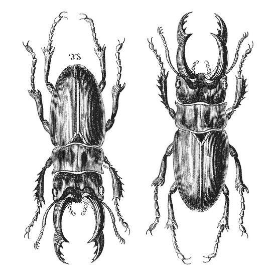 Stag Beetle - Square-Lebens Art-Art Print