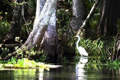 Stalking Egret-Alan Hausenflock-Photographic Print