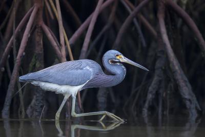 Stalking in the Mangroves-Greg Barsh-Photographic Print