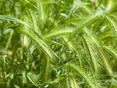 Stalks of Newgreen Wheat--Photographic Print