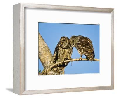 Barred Owl, Pair Bonding, Florida, USA