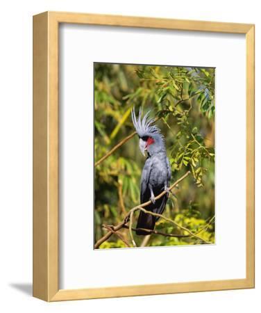 Black Palm Cockatoo, Crest Erect, Zoo Animal
