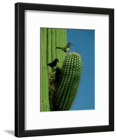 Cactus Wren, with Food, Saguaro, NM