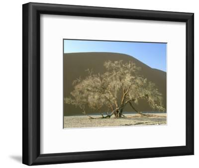 Camelthorn Acacia, Namib-Naukluft Park, Namibia