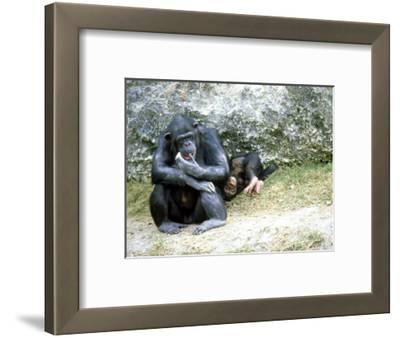 Chimpanzee, Mother & Baby, Zoo Animal