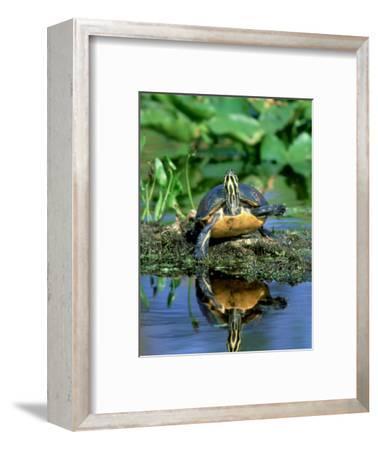 Florida Redbelly Turtle, Sunning, USA