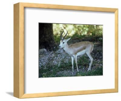 Goitered Gazelle, Male, Zoo Animal