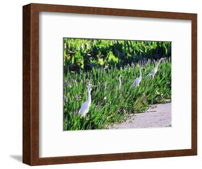 Great Egret, Hunting from Pickerelweed, USA