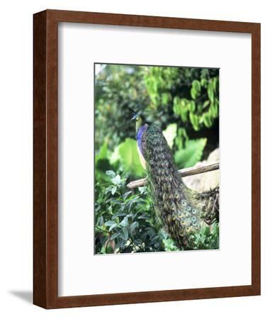 Javan Green Peafowl, Zoo Animal