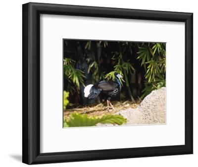 Malayan Crested Fireback Pheasant, Male in Clearing, Zoo Animal