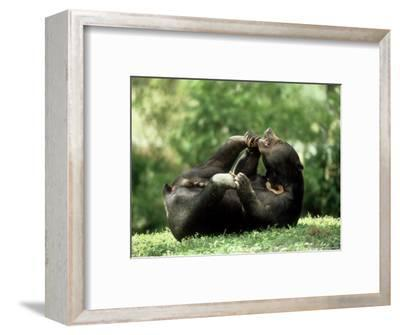Malayan Sun Bear, Playing, Zoo Animal