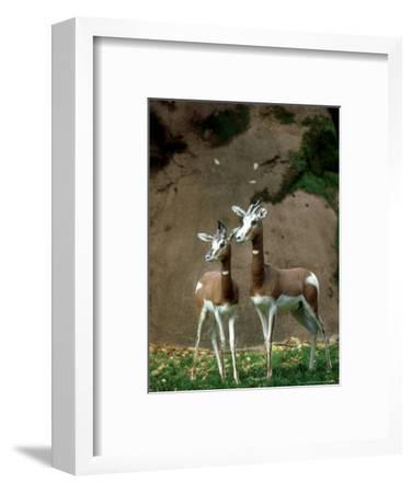 Mhorr Gazelle, Females, Zoo Animal