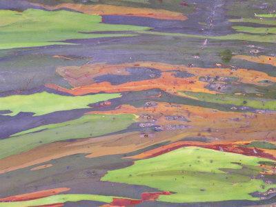Rainbow Eucalyptus, Bark Pattern, Botanical Garden