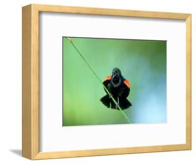 Red-Winged Blackbird, Male Displaying, USA