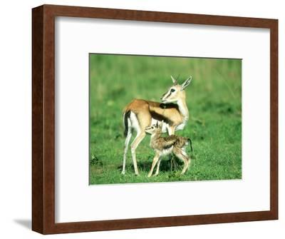 Thomsons Gazelle, with Baby, Kenya