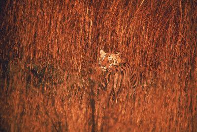 Tiger, Camouflaged Amid Tall, Golden Grass, Setting Out at Dusk For Night of Hunting