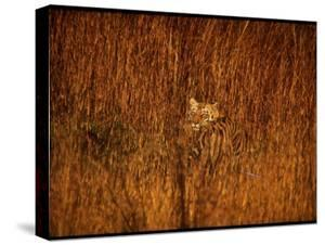 Tiger, Camouflaged Amidst Tall, Golden Grass, Setting Out at Dusk for Night of Hunting by Stan Wayman
