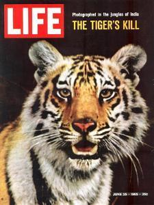 Tiger, June 25, 1965 by Stan Wayman