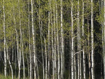 https://imgc.artprintimages.com/img/print/stand-of-aspen-trees-at-wolf-creek-campground_u-l-p8hafo0.jpg?p=0