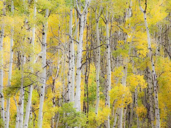 Stand of Aspens in autumn-Frank Lukasseck-Photographic Print