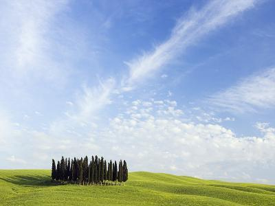 Stand of Cypress Trees in Meadow-Frank Lukasseck-Photographic Print