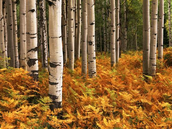 Stand of Quaking Aspen Tree, Gunnison National Forest, Colorado, USA-Adam Jones-Photographic Print