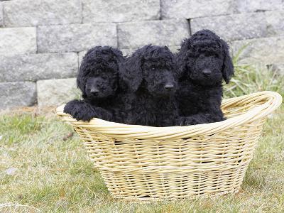 Standard Poodle Puppies 8 Weeks Old-Cheryl Ertelt-Photographic Print