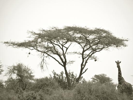 Standing Giraffe-Joani White-Premium Photographic Print