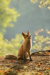 Red Fox Siitng in Backlight during Indian Summer by Stanislav Duben