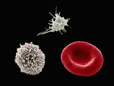Comparison of Human Red Blood Cell, Erythrocyte, a White Blood Cell, Leukocyte