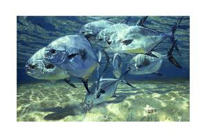 Permit on Flats, Crab, Chub Cay by Stanley Meltzoff